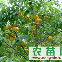 供应优质杏树苗