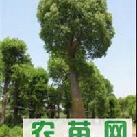供应20公分香樟树20公分香樟30公分香樟