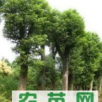 供应精品香樟树15-90公分大香樟