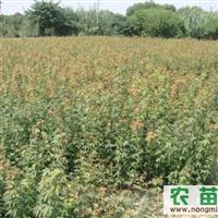 现供应鸡爪槭20-30公分的小苗
