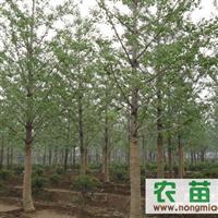 低价供应1-50公分银杏树,指树挖树,成活率100%