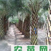 供应各种绿化苗木,银海枣(中东海枣)