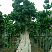 福建小叶榕盆景