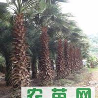 供应绿化苗木,华棕,富贵椰子,