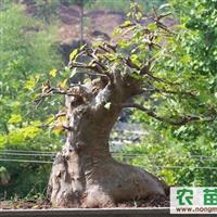 湖北三角枫