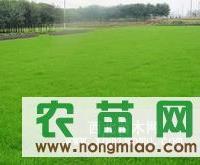 湖南郴州>>马尼拉草坪>湖南郴州杜鹃小苗大量低价格销售