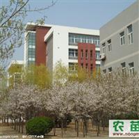 专供樱花,七叶树,红叶碧桃、等风景树,行道树。