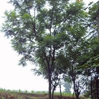 供应15cm蓝花楹、蓝雾树