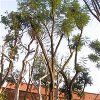 供应40cm蓝花楹、蓝雾树