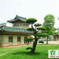 对节白蜡景观 武汉绿林