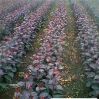 紫叶海棠苗