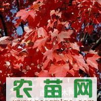 美国红枫、北美枫香、蓝杉种子