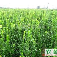 北海道黄杨一米以上4元/棵