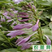 白花玉簪 兰花玉簪 紫花玉簪价格