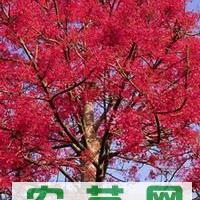 供应澳洲火焰瓶木种子(澳洲火焰木、槭叶酒瓶树)