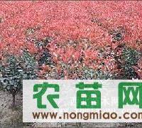 南京来云苗圃场优价供应红叶石楠