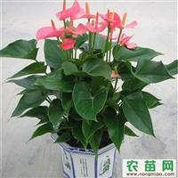 泉州晋江惠安中秋礼品花卉绿植盆栽,蝴蝶兰办公室工厂公司绿化