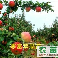 辽宁寒富苹果苗(热销70万棵)辽宁寒富苹果苗大量供应