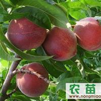 大棚桃苗88熊岳大棚桃苗供应商提供优质桃苗,品种纯成活率高