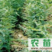 供应皂角苗 -山西最大的皂角苗繁育基地
