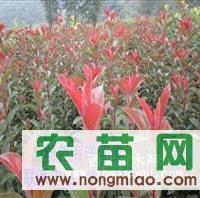 粉色海洋苗,王族海棠,红叶海棠苗