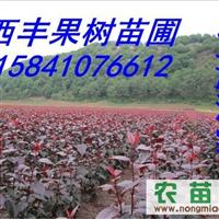 红叶海棠苗,辽宁红叶海棠价格
