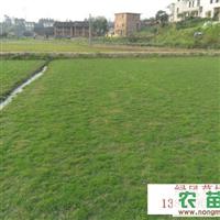 绿化草坪、滁州草坪、绿风草坪