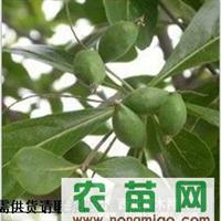 供应新采香樟种子、乌桕种子、天竺桂种子、铁树种子、苏铁种子