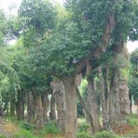 大量供应香樟木