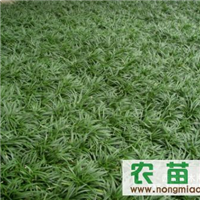 大量供应日本矮麦冬