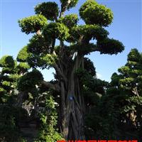 盆景小叶榕