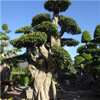 漳州盆景小叶榕