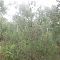 出售野生黑松1.5米至3米便宜买啦
