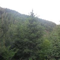 长期大量出售云杉1米至8米