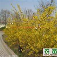 供应西北用绿化苗木连翘,丁香,红瑞木