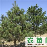 供应各种规格黑松、樱花等优质苗木