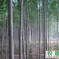 供应各种规格速生白蜡、美国红枫等优质苗木