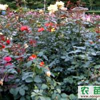 供应成都丰花月季、蔷薇、大红袍、七里香等绿化苗木的价格