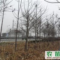山东泡桐树,雪松 北海道黄杨 瓜子黄杨