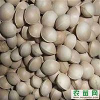 现货低价批发银杏种子