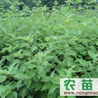 供应紫穗槐、爬山虎、常春藤、铺地柏、沙地柏