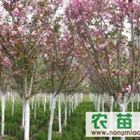 陕西省周至县吕家堡樱花供应