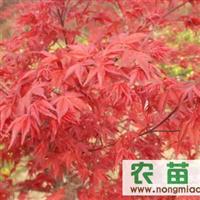供应红枫价格,日本红枫,红枫种子
