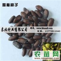 供应优质腊梅种子 腊梅种子价格 腊梅种子种植 腊梅种子图片