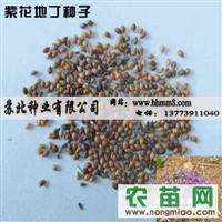 出售紫花地丁种子|紫花地丁种子价格|较新紫花地丁种子
