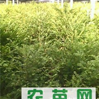 红豆杉苗花梨木苗香樟苗珙桐苗红果冬青苗