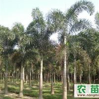 狐尾椰子价格 狐尾椰子树供应 狐尾椰子低价供应