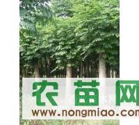 大量供应4-8公分句容黄山栾树