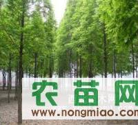 供应句容2-12公分池杉