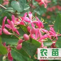 东北3年生蓝叶忍冬5个分枝以上80-120cm 15000棵